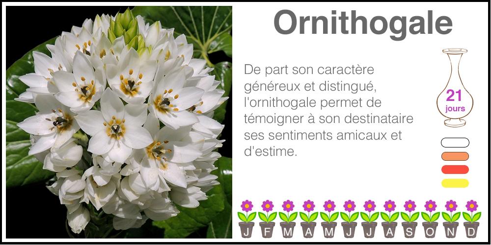 Ornithogale